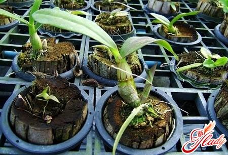 вянут цветы у орхидеи