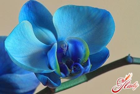 орхидея синего цвета