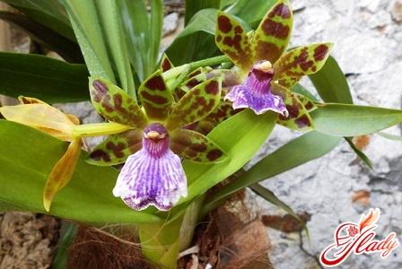 у орхидеи желтеют листья на концах