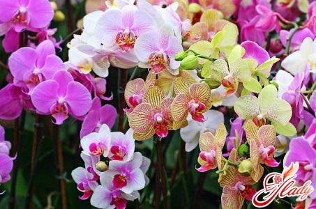 у орхидеи желтеют листья