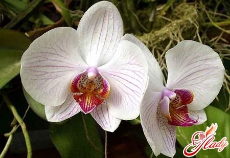 выращивание орхидей