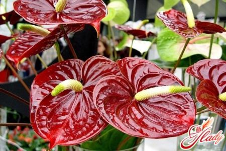 почему сохнут листья у антуриума