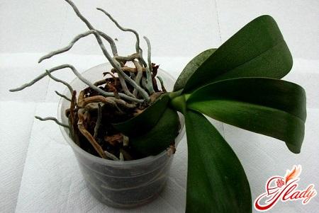 как пересадить орхидею фаленопсис правильно