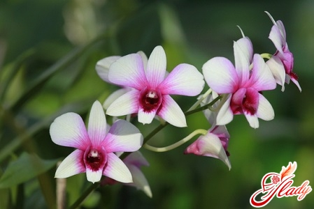 как пересадить орхидею фаленопсис