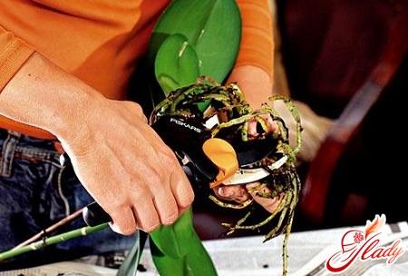 пересадка орхидей фаленопсис