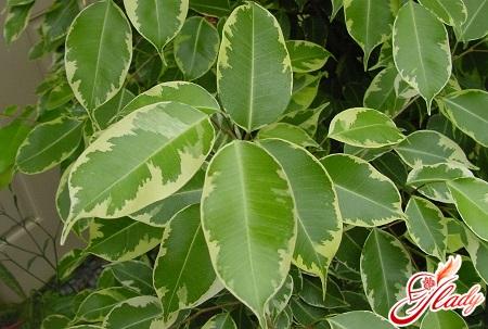 фикус бенджамина опадают листья