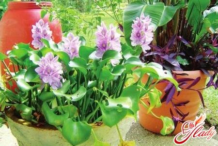 водяной гиацинт