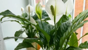 Спатифиллум не цветет. Что делать?