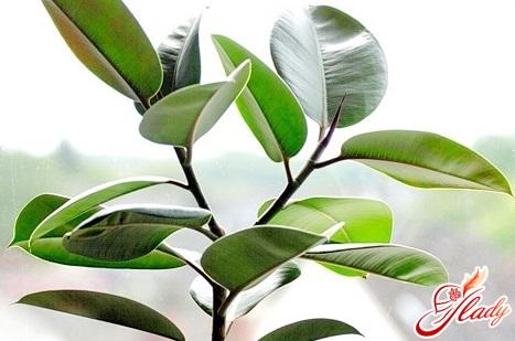 фикус каучуконосный опадают листья