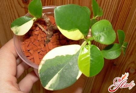 фикус микрокарпа опадают листья