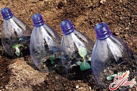 выращивание капусты на открытом грунте