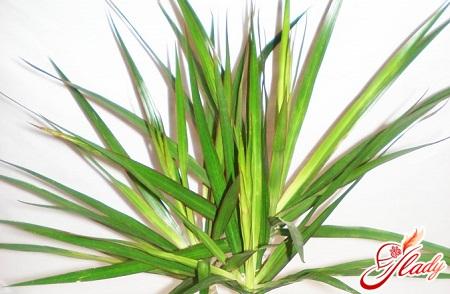 драцена окаймленная dracaena marginata