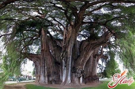 старейшее дерево туле