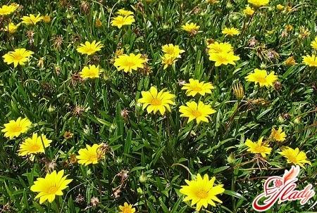 цветы арники для лечения герпеса