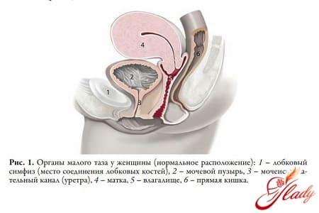 Органы малого таза у женщин