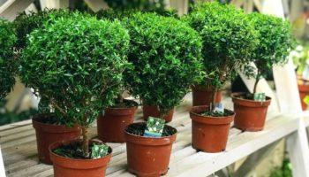 Как ухаживать за миртовым деревом в домашних условиях