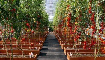 Пикировка томатов по лунному календарю 2019